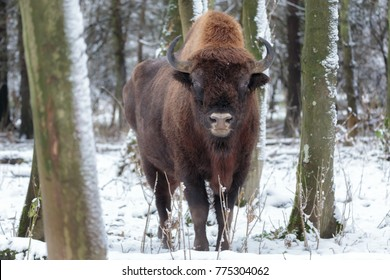 Wisent - European Bisons in the snow