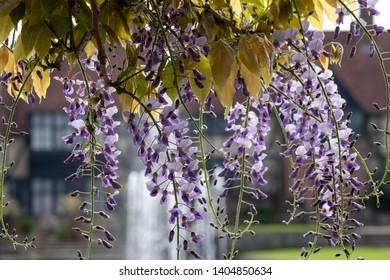 Wisley, Surrey, UK. May 2019. Purple flowered wisteria at RHS Wisley, flagship garden of the Royal Horticultural Society.