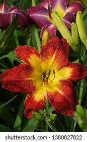 WISPY RAYS Red flowers daylily. Beautiful red flowers daylily. Throat yellow.
