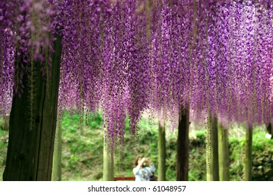 wistaria trellis and  woman