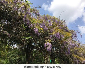 Wisteria (also spelled Wistaria or Wysteria) is a genus of flowering plants in the legume family, Fabaceae (Leguminosae), that includes ten species of woody climbing vines