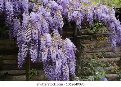 Wisteria (also spelled Wistaria or Wysteria) is a genus of flowering plants in the legume family, Fabaceae (Leguminosae), that includes ten species of woody climbing vines.