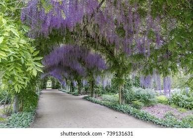 Wisteria Arch in Spring, Victoria, Australia