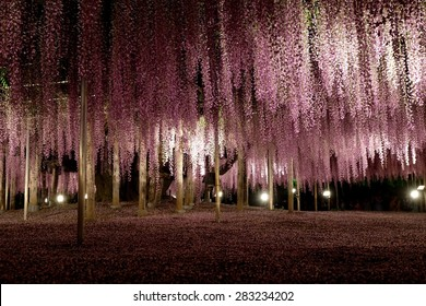 wisteria in Ashikaga Park, Japan