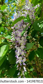Wisteria bitone, violet flower long raceme among green leaves. Wisteria vine two-color flower truss contrasting with foliage. Truss of two-tone, violet small flowers in a long, pendulous cluster.