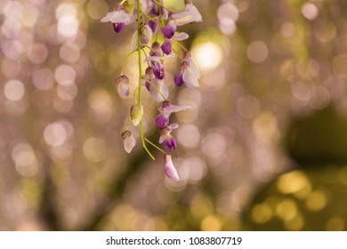 Wisteria in bloom in a garden with gentle soft focus in the background.