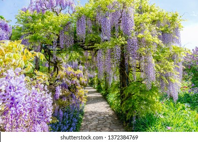 Wisteria blooming alley