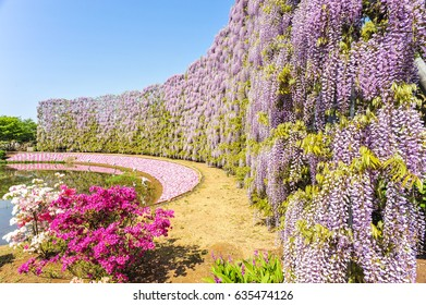 Wisteria Blooming at Ashikaga Flower Park, Tochigi Prefecture, Japan
