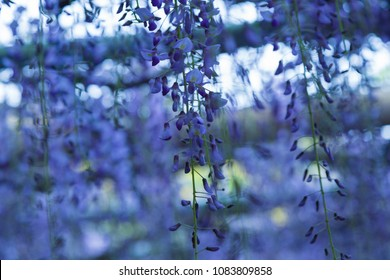Wisteria blooming in a garden.