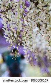 Wisteria blooming in a garden with gentle soft focus background.