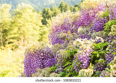 Wisteria blooming in a garden with gentle soft focus landscape in background.