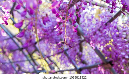 Wisteria blooming in a garden with gentle soft focus in background.