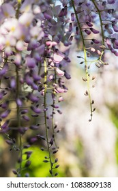 Wisteria blooming with gentle soft focus background.