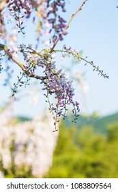 Wisteria blooming with soft out of focus landscape in background.