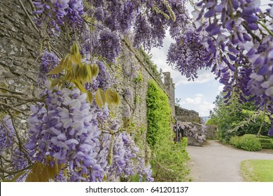 Wisteria blossom in the historical Bunratty Castle & Folk Park at County Clare, Ireland