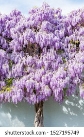 Wisteria blossom on house wall background. Natural home decoration with wisteria flowers. Big wisteria tree