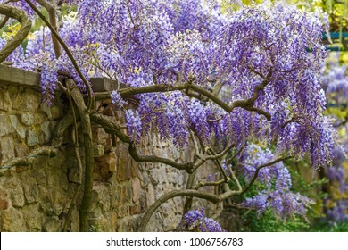 Wisteria blossom on stone wall background. Garden background with Fabaceae Wisteria sinensis flowers.