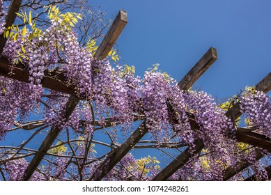 Wisteria blossoms in Japan