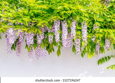 Wisteria blossoms on house wall background. Natural home decoration with wisteria flower. Big wisteria tree