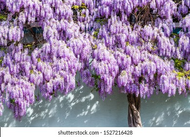 Wisteria blossoms on house wall background. Natural home decoration with wisteria flowers. Big wisteria tree