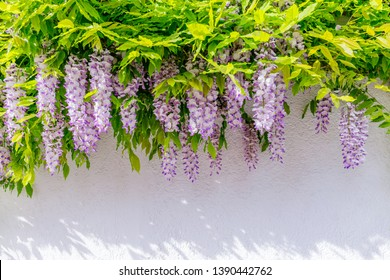 Wisteria blossoms on white house wall background.  Natural home decoration with wisteria flowers