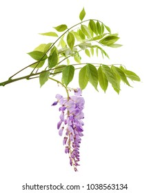 wisteria branch with flowers isolated on white