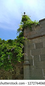 Wisteria climbing vine branches with lush green foliage & few pendent purple-lilac flower elegantly droop over an old, medieval style dolerite stone fence & twine around a fence ornamental pinnacle.