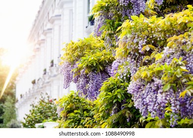 Wisteria covering white building  in Central London