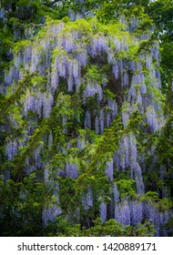 A Wisteria creeper grows from the bottom to the top of a 40 foot tree in Hampshire, England