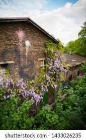 Wisteria creeper with purple flowers in spring growing on an old wooden fence alongside a brick house with colorful pink and white paint splatters on the wall