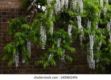 Wisteria floribunda 'Alba', white Japanese wisteria.  An elegant white Japanese wisteria producing extravagant clusters of 50 cm long fragrant, pea-like, white flowers & light green leaves in spring.