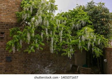 Wisteria floribunda 'Alba', white Japanese wisteria. An elegant white Japanese wisteria produces extravagant clusters 50cm long of fragrant, pea-like, white flowers with light green leaves in spring.