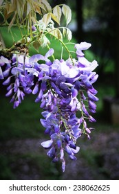 wisteria flower    Find Similar Images    Share ? Wisteria tree branch with beautiful flowers