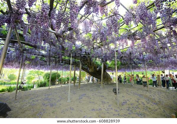 Wisteria Flower Garden Japan Stock Photo Edit Now 608828939