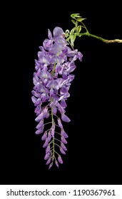 Wisteria flower isolated on black background