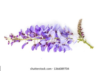 Wisteria flower isolated on white background