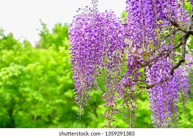 A wisteria flower swaying in the early summer with fragrant and elegantly swaying