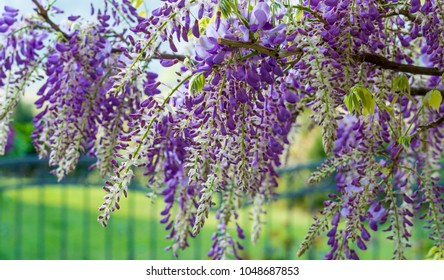 Wisteria flowers. Wisteria (also spelled Wistaria or Wysteria) is a genus of flowering plants in the legume family, Fabaceae (Leguminosae).