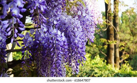 Wisteria flowers. Amazing purple flowers in the spring
