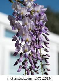 Wisteria flowers example