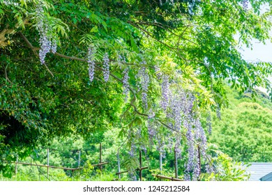 Wisteria flowers growing naturally