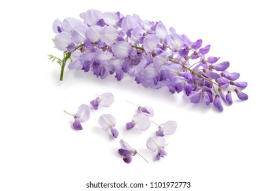 Wisteria flowers isolated on white background