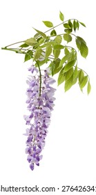 wisteria flowers isolated on white