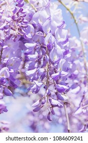 Wisteria flowers natural light