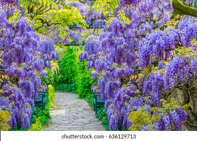Wisteria Flowers in Park. Wisteria blossom on Garden background.