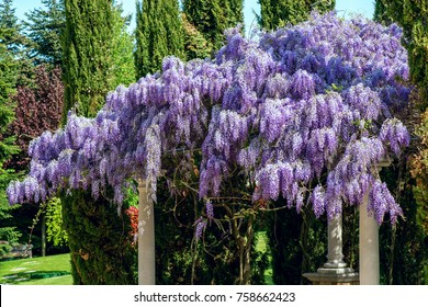 Wisteria flowers. spring nature background