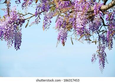 wisteria flowers under a blue sky