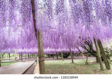 Wisteria garden at Kawachi Fuji Garden (Fukuoka, Japan)