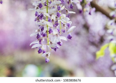 Wisteria with gentle soft focus background.