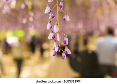 Wisteria with gentle soft focus in background.